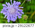 マツムシソウ 高山植物 植物の写真 29122677