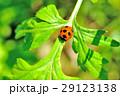 虫 昆虫 てんとう虫の写真 29123138