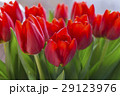 Group of red tulips in the park. Spring landscape. 29123976