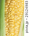 とうもろこし 玉蜀黍 コーンの写真 29124983