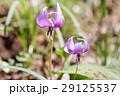 カタクリ 植物 ユリ科の写真 29125537