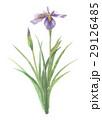 あやめ 菖蒲 花のイラスト 29126485