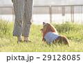 お座りする老犬 29128085