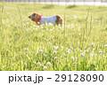 雑草の中に佇む犬 29128090