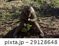 ポテチを食べるマントヒヒ 29128648