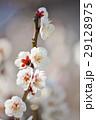 白梅 梅 満開の写真 29128975