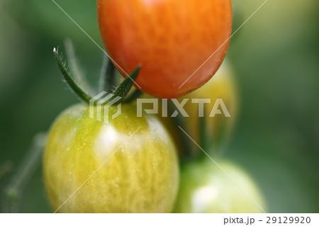 プチトマト 29129920