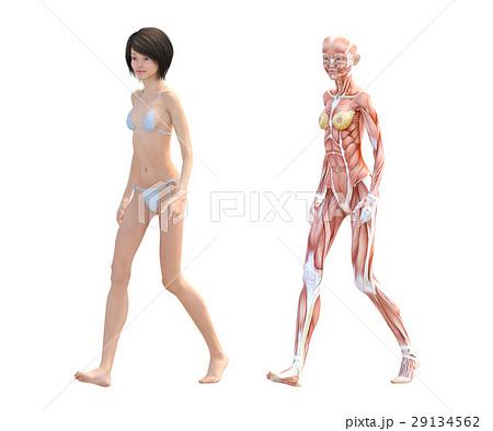 女性 解剖 筋肉 3DCG イラスト素材 29134562
