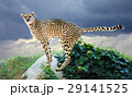 チーター 男 アフリカの写真 29141525