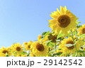 向日葵 花畑 夏の写真 29142542