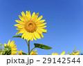 ひまわり 向日葵 夏の写真 29142544