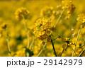 なぎさ公園の菜の花(滋賀県) 29142979