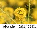 なぎさ公園の菜の花(滋賀県) 29142981