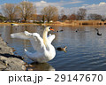 白鳥 大沼 鳥の写真 29147670