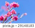 Japanease Red Plum Flowers,Tokyo,Japan 29148183