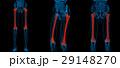 人体 解剖学 大腿骨のイラスト 29148270
