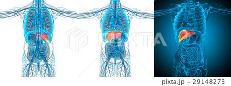 3d rendering medical illustration of the liver 29148273