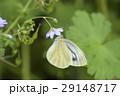 スジグロシロチョウ 蝶 花の写真 29148717