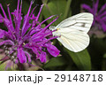 スジグロシロチョウ 蝶 花の写真 29148718