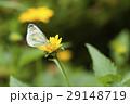 スジグロシロチョウ 蝶 花の写真 29148719