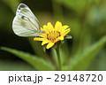 スジグロシロチョウ 蝶 花の写真 29148720
