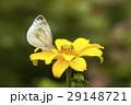 スジグロシロチョウ 蝶 花の写真 29148721
