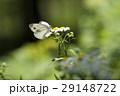 スジグロシロチョウ 蝶 花の写真 29148722