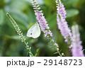 スジグロシロチョウ 蝶 花の写真 29148723