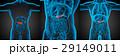 解剖学 器官 膵臓のイラスト 29149011
