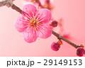 梅の花 29149153