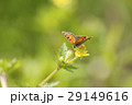 ベニシジミ 蝶 昆虫の写真 29149616