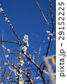 植物 花 梅の写真 29152225