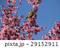 早咲きの桜とメジロ 29152911