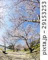 春 桜 サクラの写真 29153253