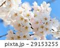 春 桜 さくらの写真 29153255