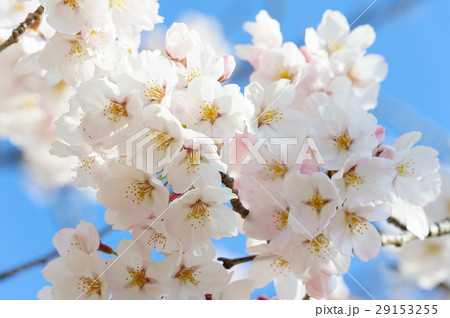 青空に生える桜 29153255