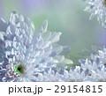 花 ブルー ターコイズブルーの写真 29154815