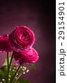 Three pink persian buttercup on dark vertical 29154901
