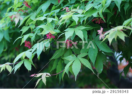 山紅葉 ヤマモミジ 花言葉は「美しい変化」 29156343