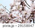 桜に鳥 29158047