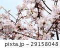 桜に鳥 29158048