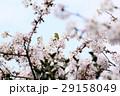 桜に鳥 29158049