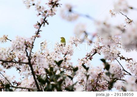 桜に鳥 29158050