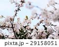桜に鳥 29158051