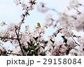 桜に鳥 29158084