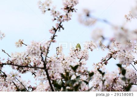 桜に鳥 29158085