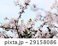 桜に鳥 29158086