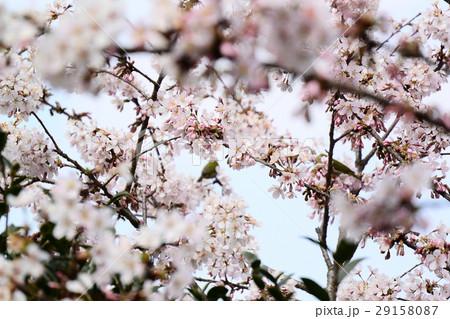桜に鳥 29158087