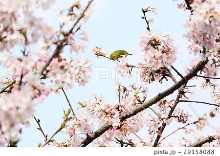 桜に鳥 29158088
