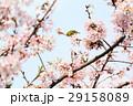 桜に鳥 29158089